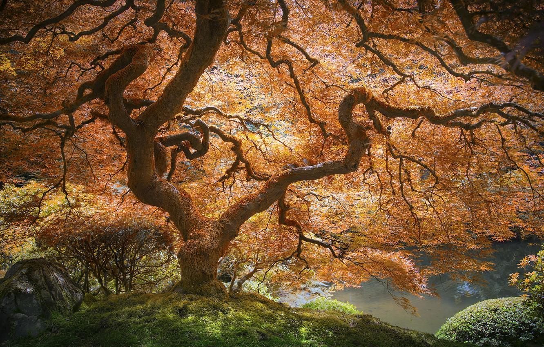 Photo wallpaper autumn, nature, Park, tree, maple Japanese