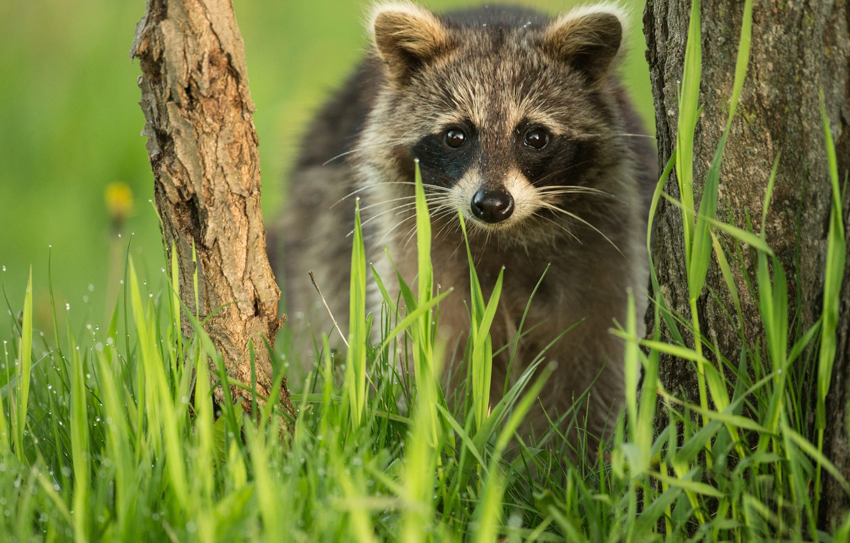 Photo wallpaper grass, look, tree, raccoon, face