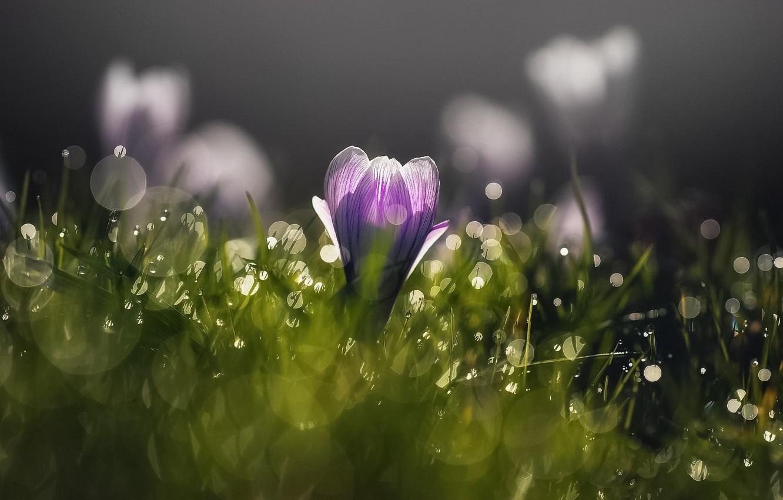 Photo wallpaper flower, light, flowers, Rosa, spring, morning, crocuses, Krokus, bokeh