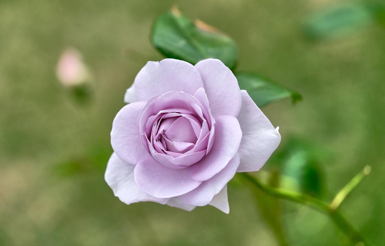 Photo wallpaper rose, Bud, lilac, bokeh