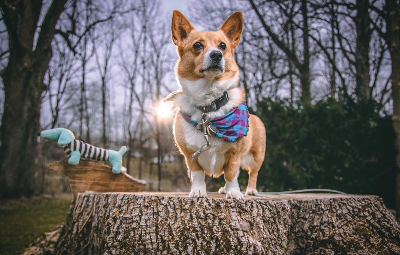Photo wallpaper stump, dog, Corgi
