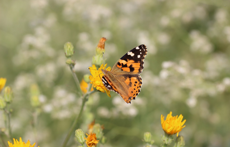 Photo wallpaper flower, background, butterfly, wings
