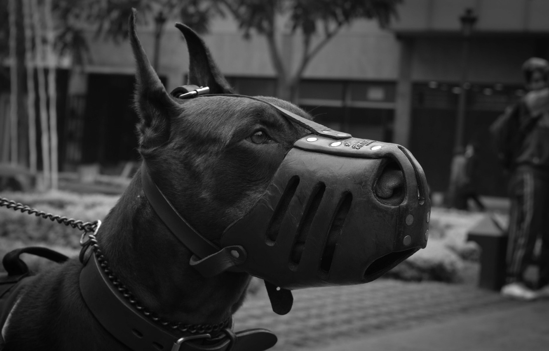 Photo wallpaper dog, the muzzle, Doberman