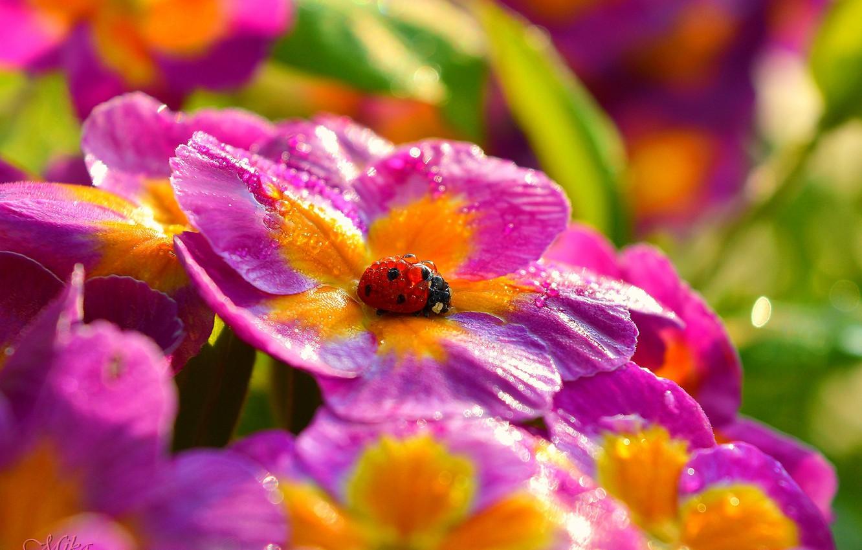 Photo wallpaper Macro, Flowers, Drops, Ladybug, Flowers, Macro, Drops