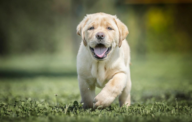 Photo wallpaper grass, dog, baby, puppy, bokeh