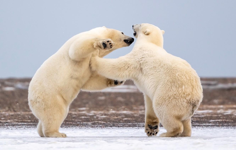 Photo wallpaper Alaska, Polar bears, sparing, two bears, Polar bears