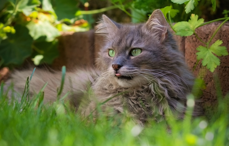 Photo wallpaper cat, grass, cat, nature, portrait