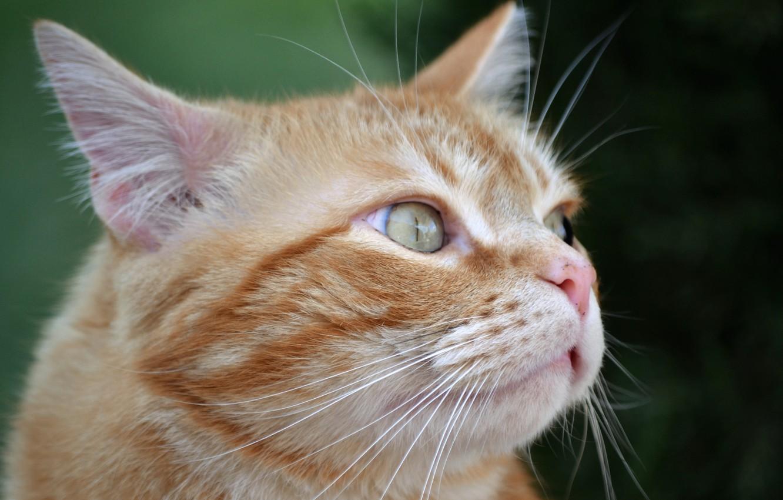 Photo wallpaper cat, cat, background, portrait, red, muzzle, cat