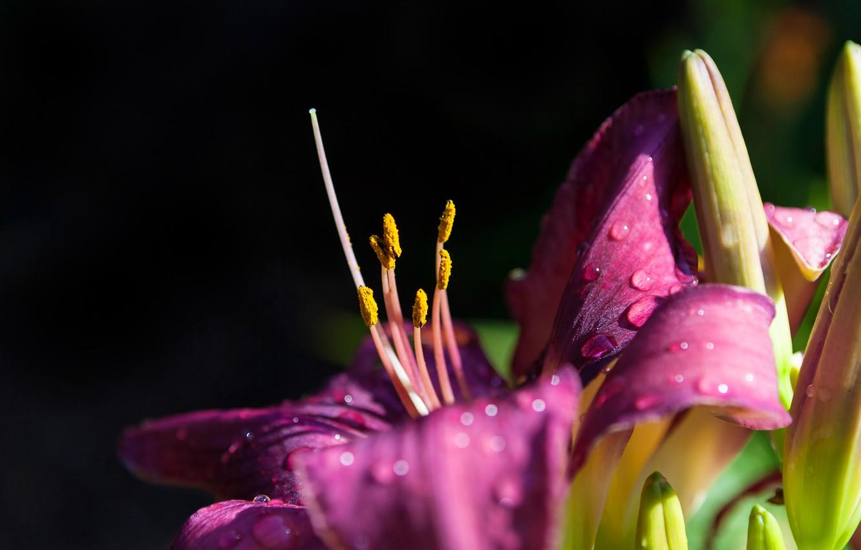 Photo wallpaper flower, drops, macro, light, the dark background, Lily, stamens, buds, lilac, Lepestki