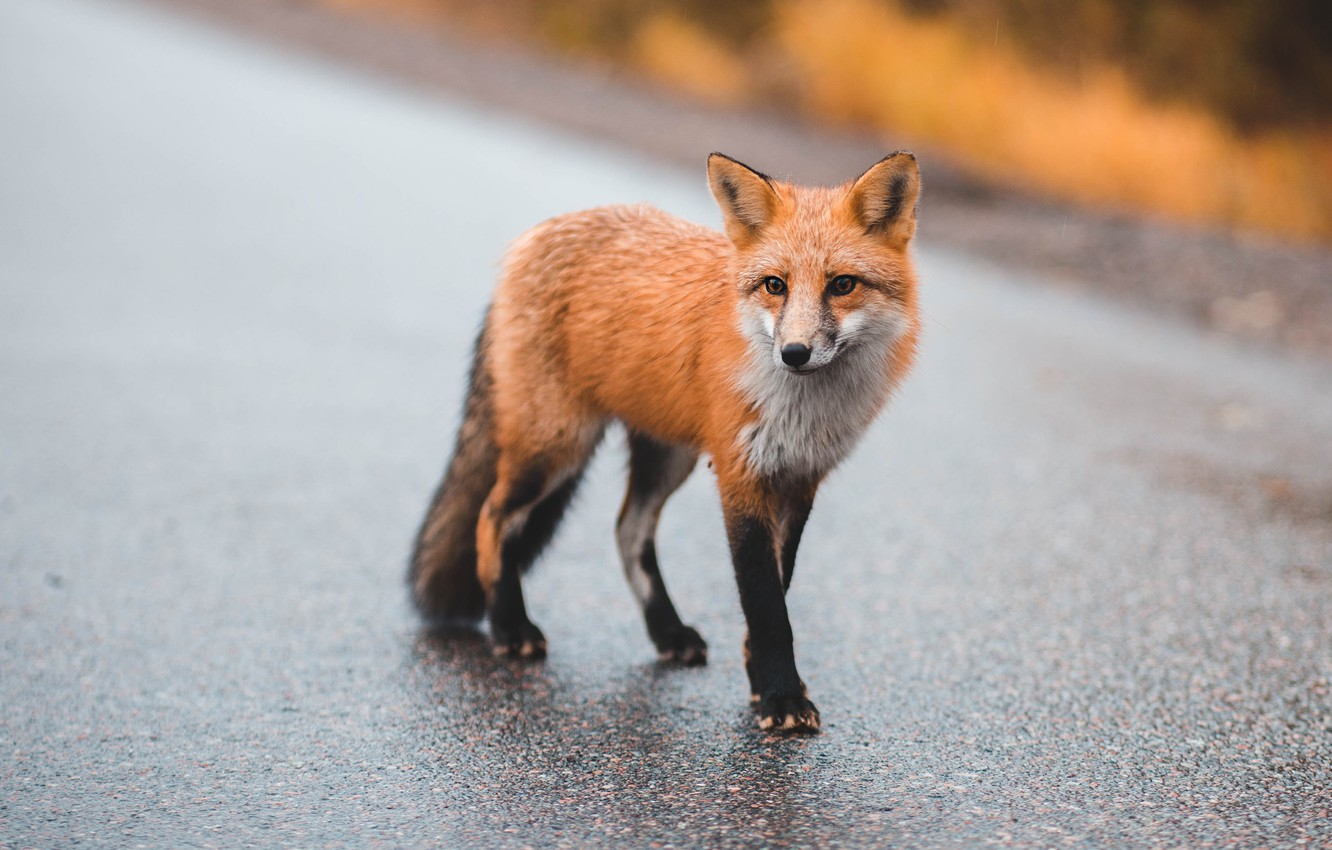 Photo wallpaper road, autumn, asphalt, Fox, red, walk, Fox