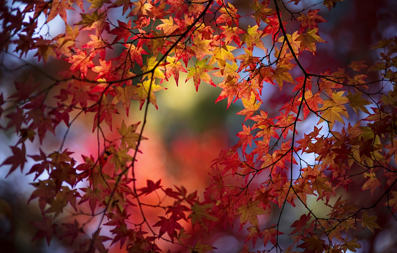 Photo wallpaper autumn, leaves, branches, maple