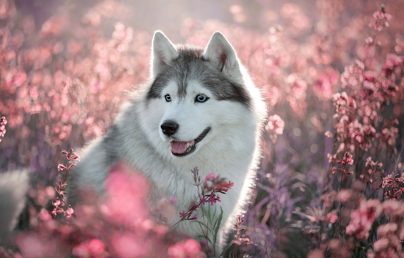 Wallpaper Field Language Summer Look Light Flowers Nature Grey Glade Portrait Dog Cute Puppy Pink Face Husky Images For Desktop Section Sobaki Download