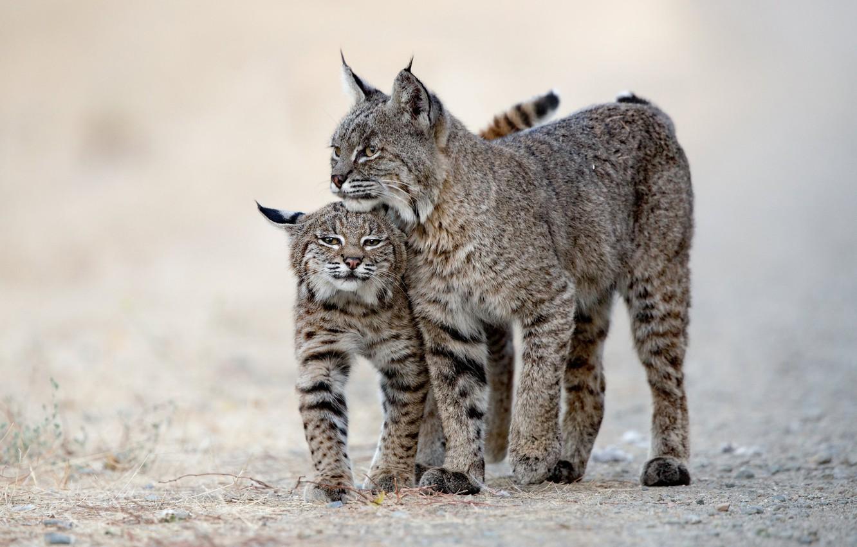 Photo wallpaper background, cub, lynx, wild cat