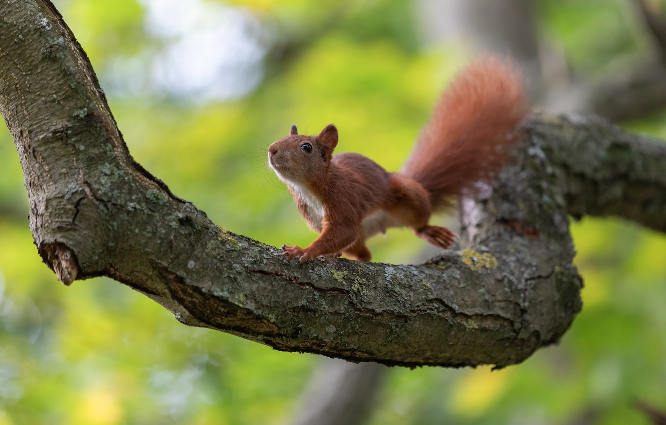 Photo wallpaper look, nature, pose, tree, jump, branch, protein, rodent