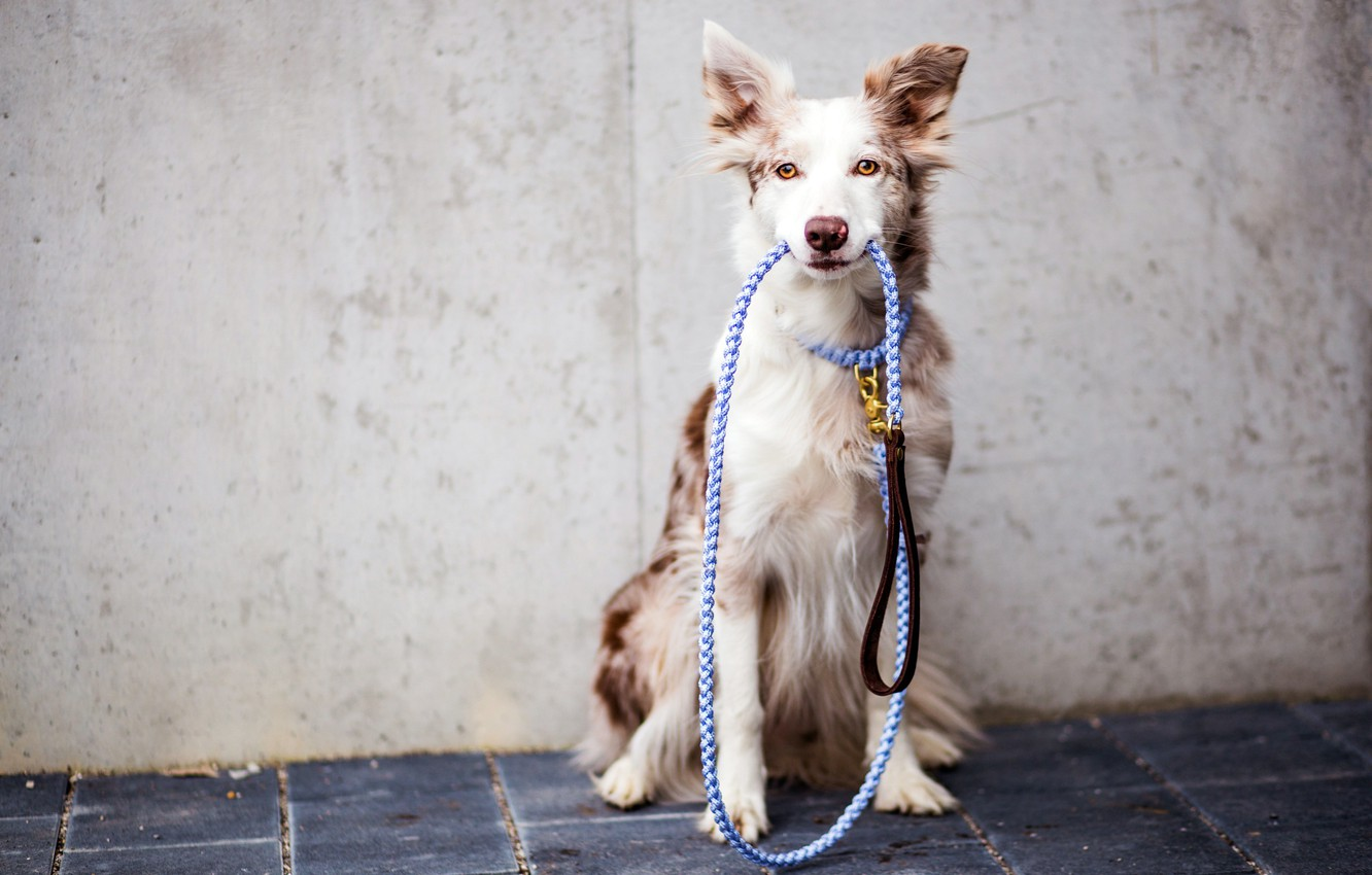 Photo wallpaper each, dog, leash
