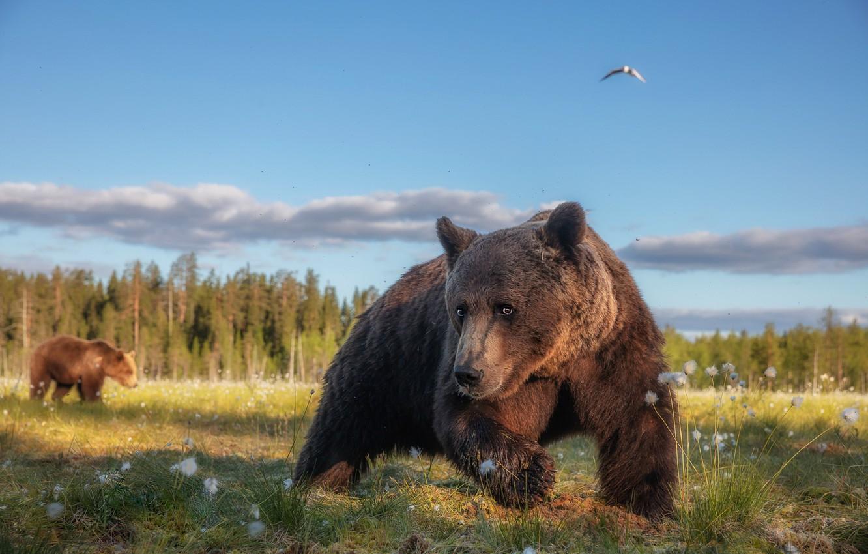 Photo wallpaper forest, summer, grass, look, face, pose, bird, paws, bear, bears, bear, walk, the expression, funny, …
