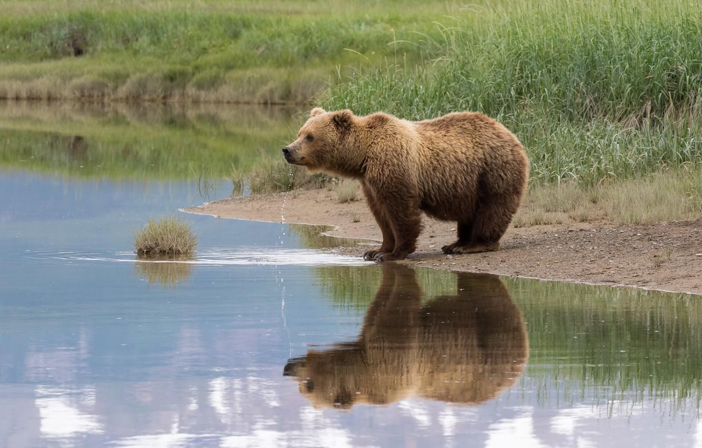 Photo wallpaper summer, grass, look, face, drops, nature, pose, reflection, shore, bear, bear, drink, pond, brown