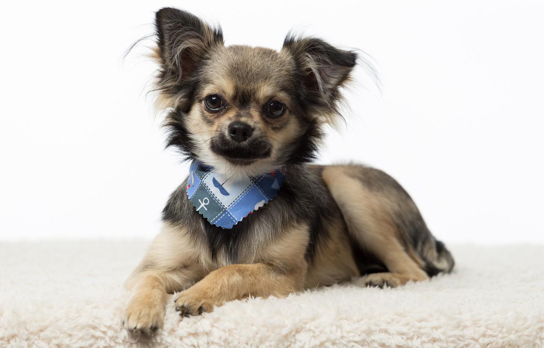 Photo wallpaper Chihuahua, breed, baby