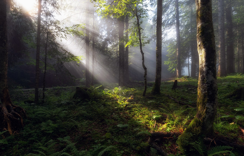 Photo wallpaper forest, summer, light, morning