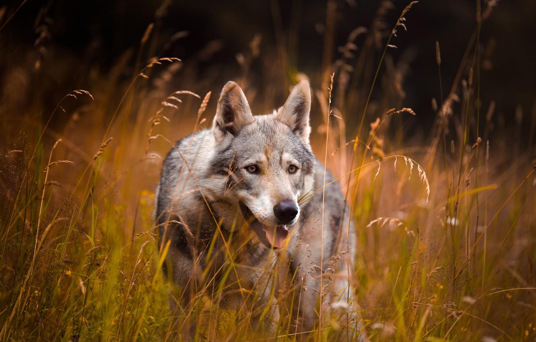 Photo wallpaper field, language, grass, look, face, grey, wolf, spikelets, blade