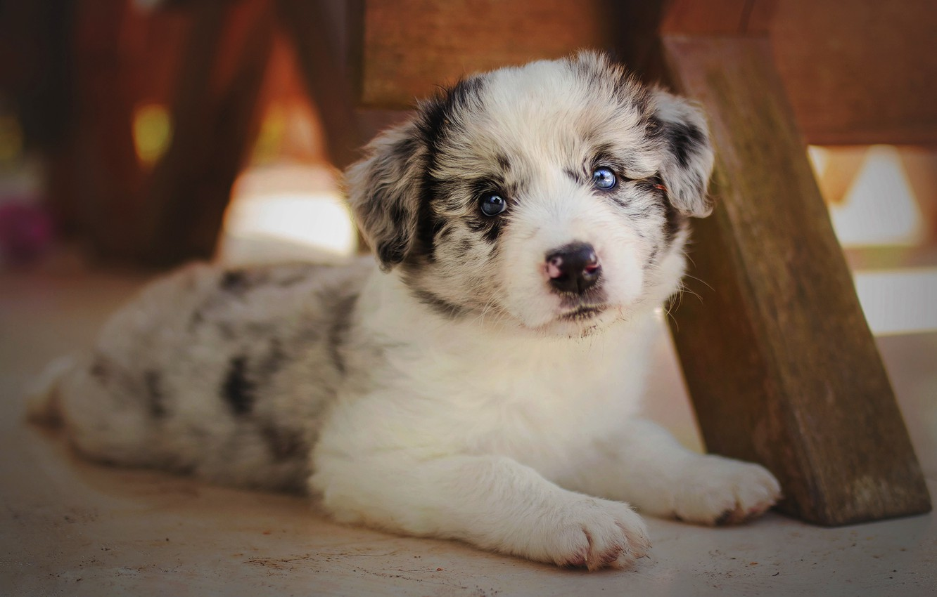 Wallpaper White Look Background Dog Baby Muzzle Cute Puppy Lies Blue Eyes Spotted Aussie Images For Desktop Section Sobaki Download