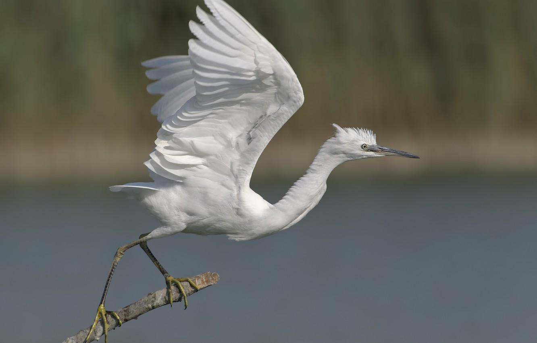 Photo wallpaper background, bird, Heron, Duell ©