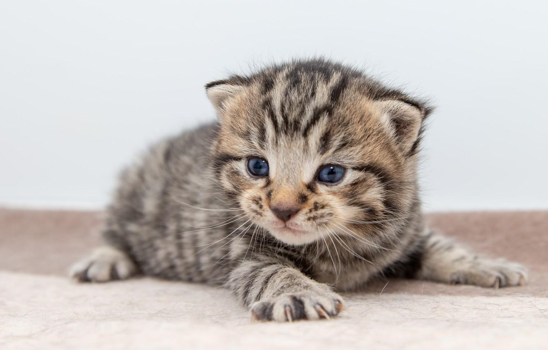 Photo wallpaper cat, kitty, grey, baby, lies, kitty, light background, striped, British