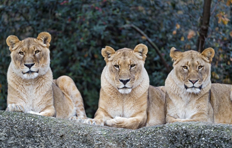 Photo wallpaper nature, stay, predators, trio, big cats, lioness