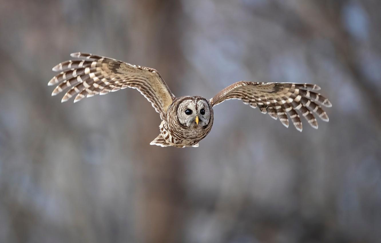 Photo wallpaper birds, owl, flight, animal, a barred owl