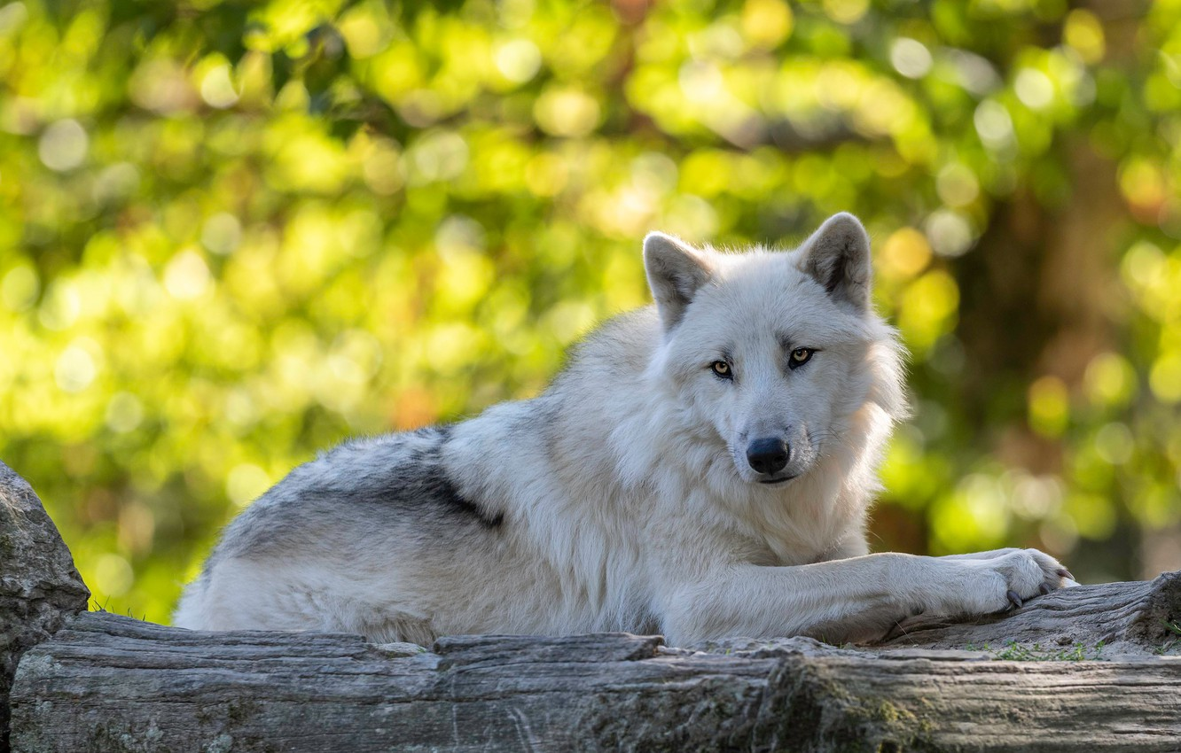Photo wallpaper white, look, face, light, yellow, pose, green, glare, background, stay, foliage, wolf, lies, log, handsome, …