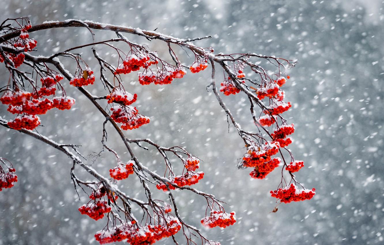 Wallpaper winter, snow, berries, Rowan