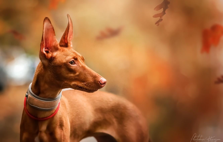 Photo wallpaper autumn, leaves, nature, animal, dog, Pharaoh, profile, dog, Ekaterina Kikot, Pharaoh hound