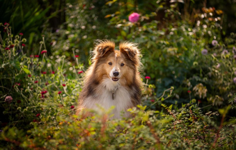 Photo wallpaper face, flowers, dog, Sheltie, Shetland Sheepdog
