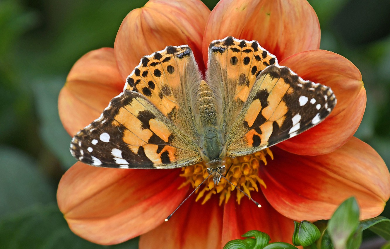 Photo wallpaper flower, macro, butterfly, petals, Dahlia, The painted lady