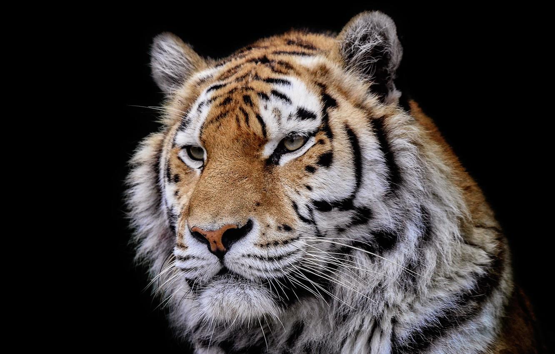 Photo wallpaper tiger, background, beast