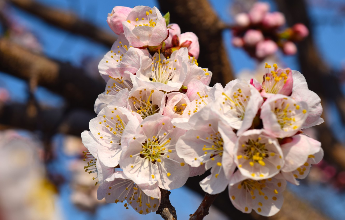 Photo wallpaper spring, blooms, apricot, flowers spring