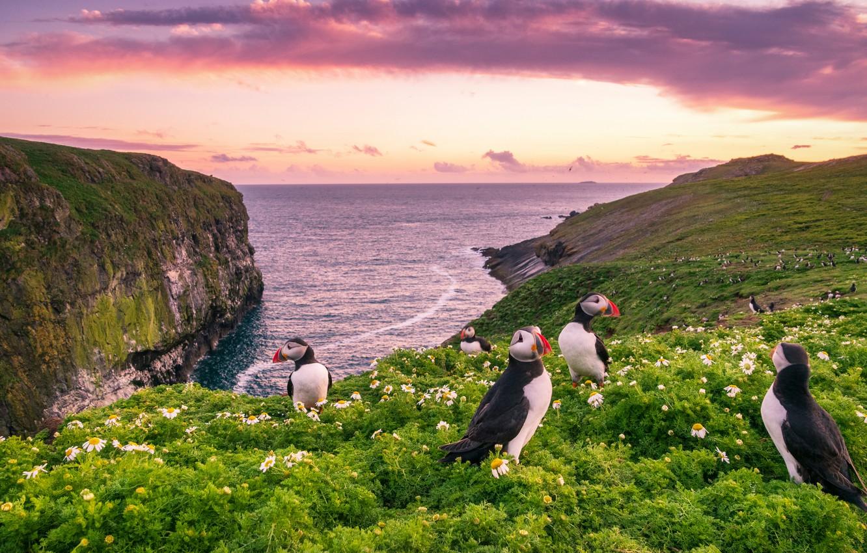 Photo wallpaper sea, sunset, flowers, birds, coast, England, chamomile, England, Wales, Wales, Deadlocks, Skomer Island, Isle Skomer