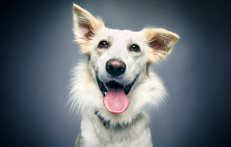 Photo wallpaper language, face, joy, background, portrait, dog