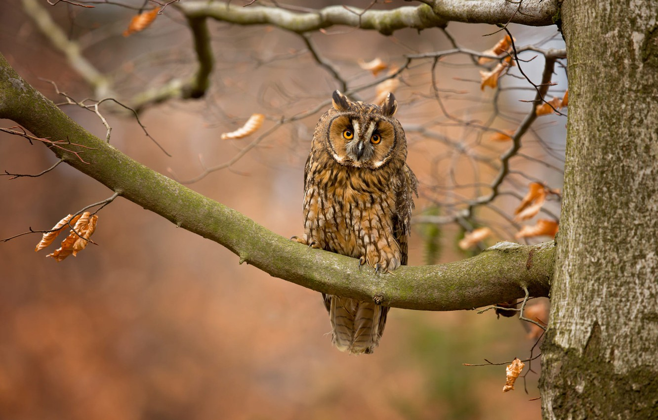 Photo wallpaper autumn, look, leaves, branches, nature, background, tree, owl, bird, owl, motley