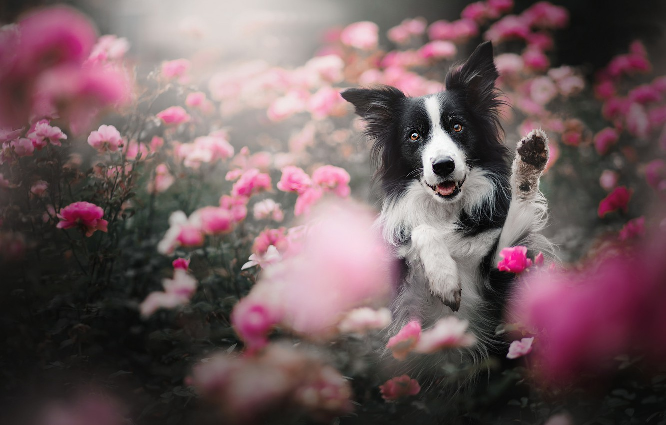 Photo wallpaper face, flowers, roses, dog, paws, The border collie, rose bushes