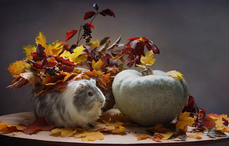 Photo wallpaper sadness, autumn, animals, leaves, pumpkin, Guinea pig