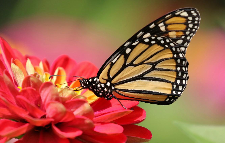 Photo wallpaper flower, macro, background, butterfly, Zinnia, The monarch