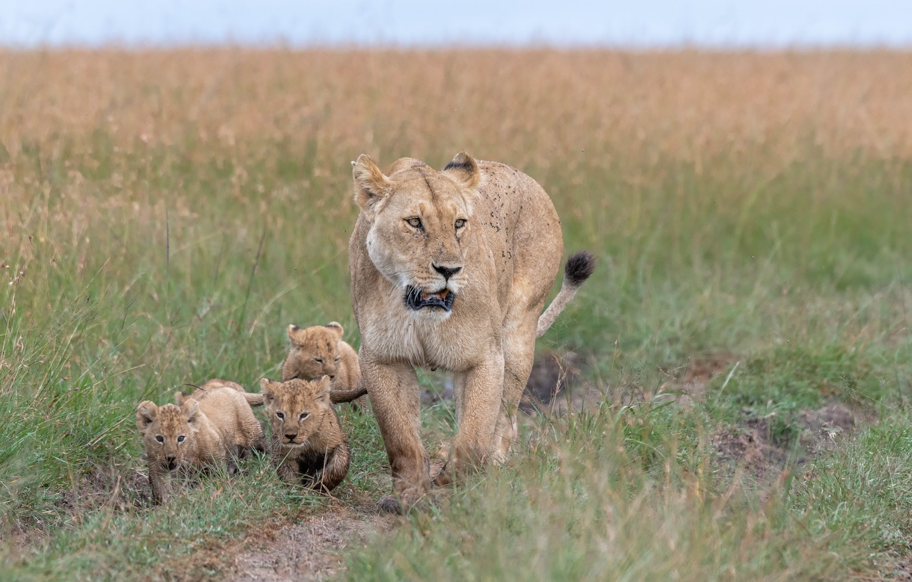 Photo wallpaper nature, Africa, lions