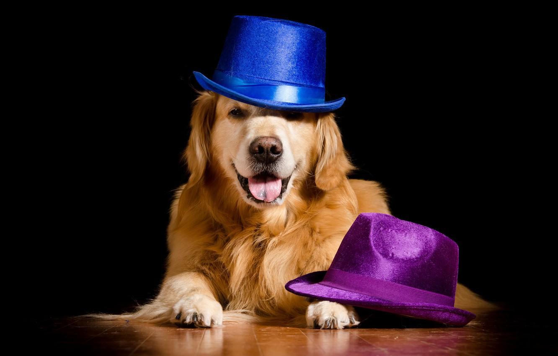 Photo wallpaper background, dog, hats