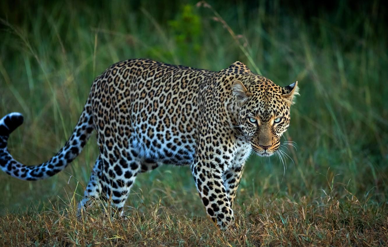 Photo wallpaper field, grass, look, leopard, wild cat