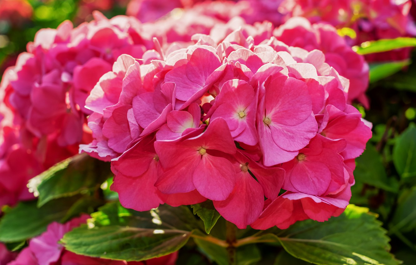 Photo wallpaper summer, leaves, flowers, close-up, pink, petals, flowering, inflorescence, hydrangea, bright