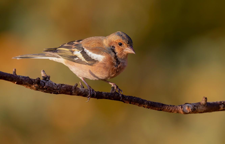 Photo wallpaper bird, branch, Chaffinch