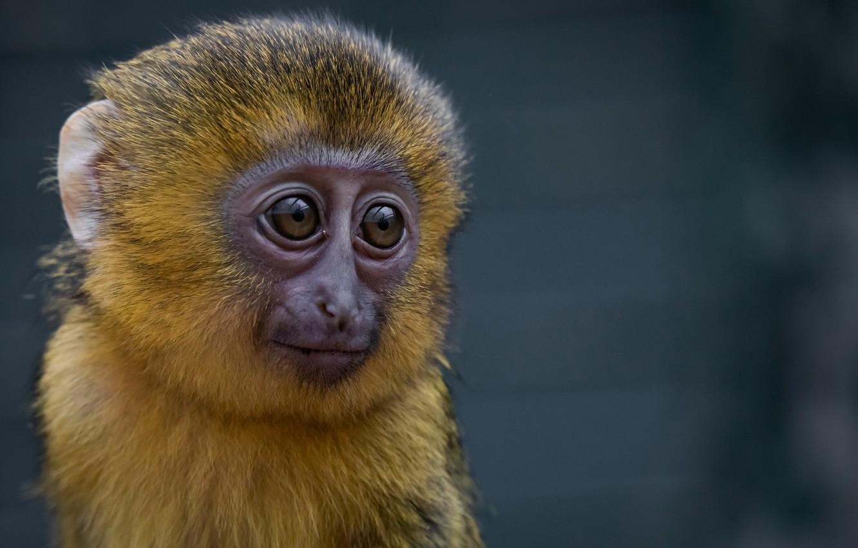 Photo wallpaper nature, background, monkey