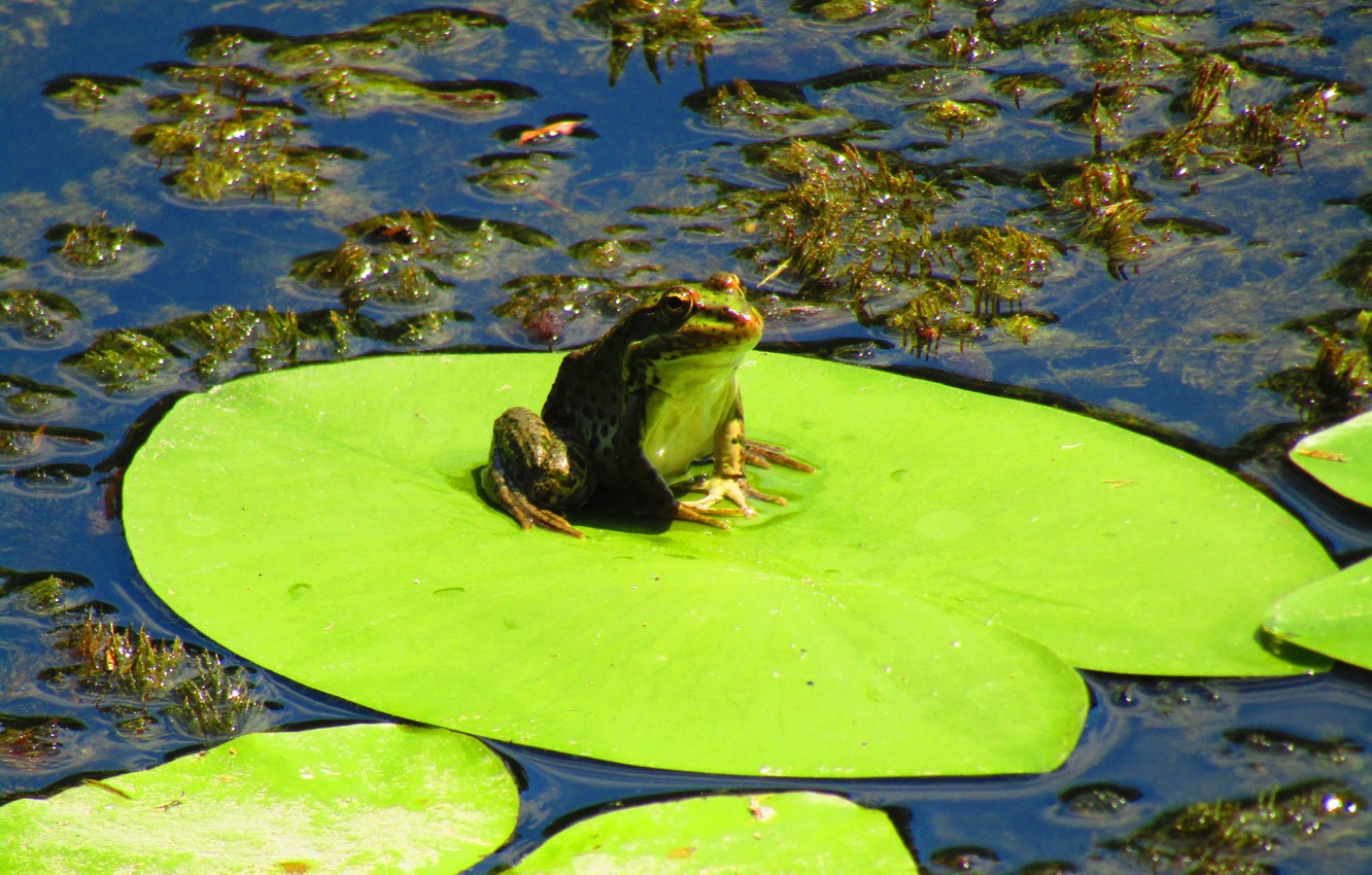 Photo wallpaper summer, water, algae, frog, Lily, green, toad