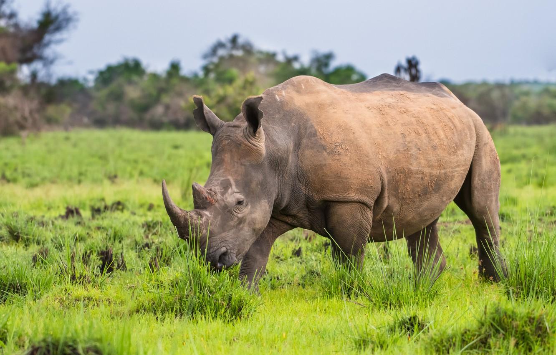 Photo wallpaper horns, rhinoceros, mammal